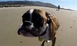 Two Legged Boxer At Beach